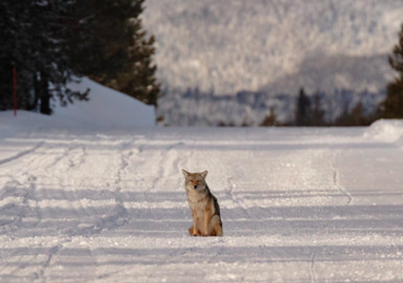 Coyote bites cross-country skier in Yellowstone