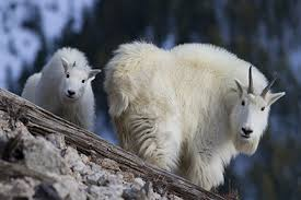 Aerial gunning of Mtn Goats called off by Interior Dept.