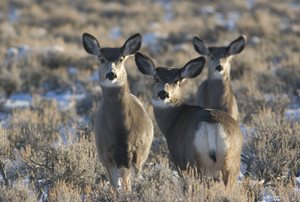 City received WGFD permit to Harvest 50 Urban Deer