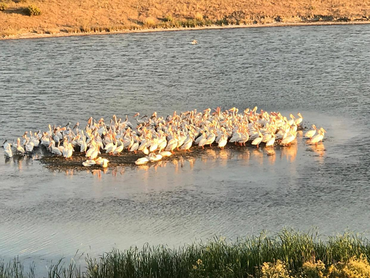 Squadron of Pelicans rested east of Lander Tuesday