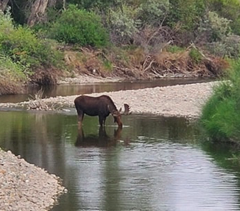 Thirsty Moose in the River