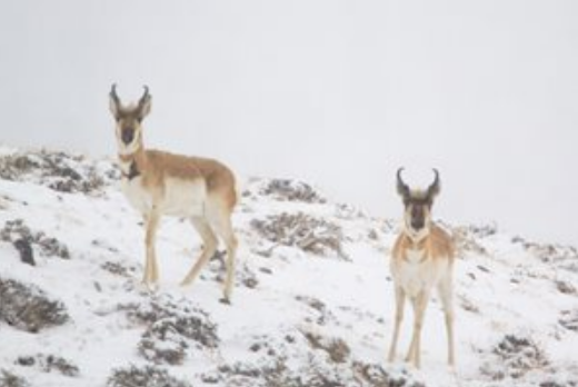 Game and Fish proposing antelope license reductions for 2021