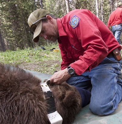 G&F to begin grizzly bear trapping for monitoring in Northwest Wyoming